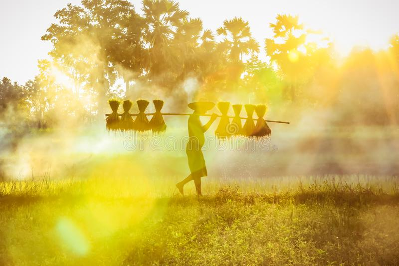 Silhouette of asian farmer Bearing seedlings of rice to plant, Asian farmer Bearing rice seedlings on the paddy field royalty free stock photos