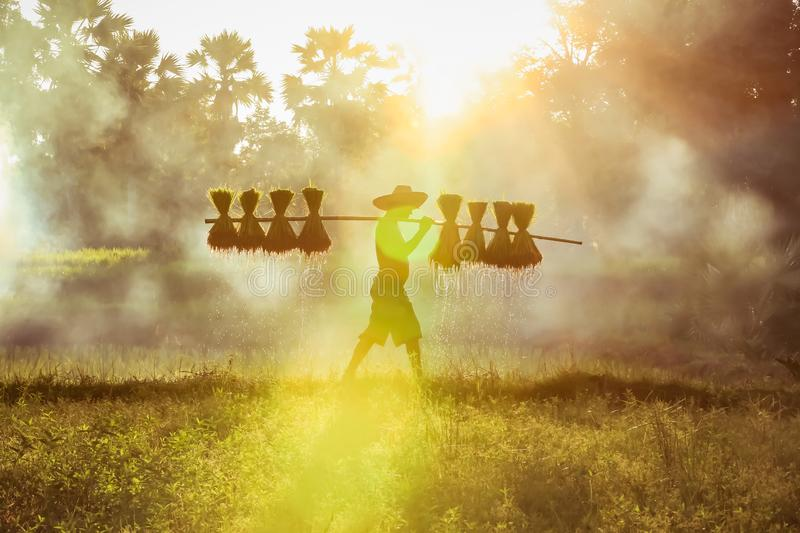 Silhouette of asian farmer Bearing seedlings of rice to plant stock images