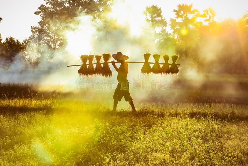 Silhouette of asian farmer Bearing seedlings of rice to plant, Asian farmer Bearing rice seedlings stock photography