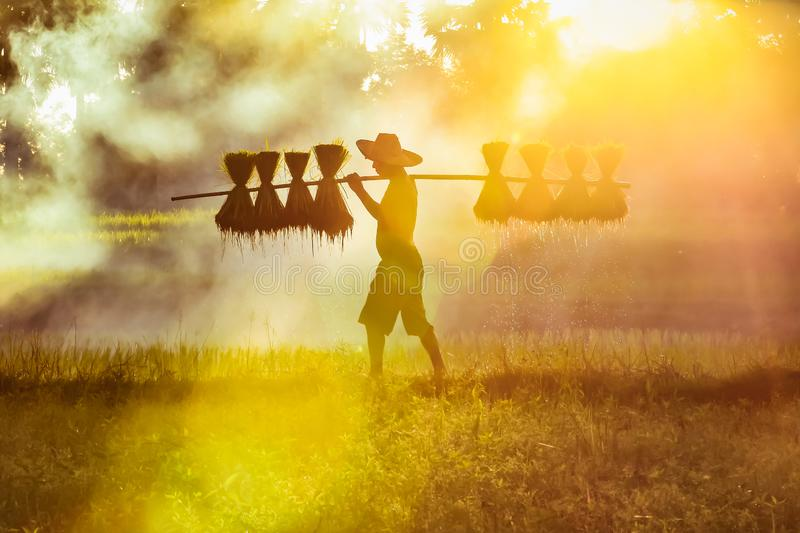 Silhouette of asian farmer Bearing seedlings of rice to plant, Asian farmer Bearing rice seedlings on the back before the grown in royalty free stock photos
