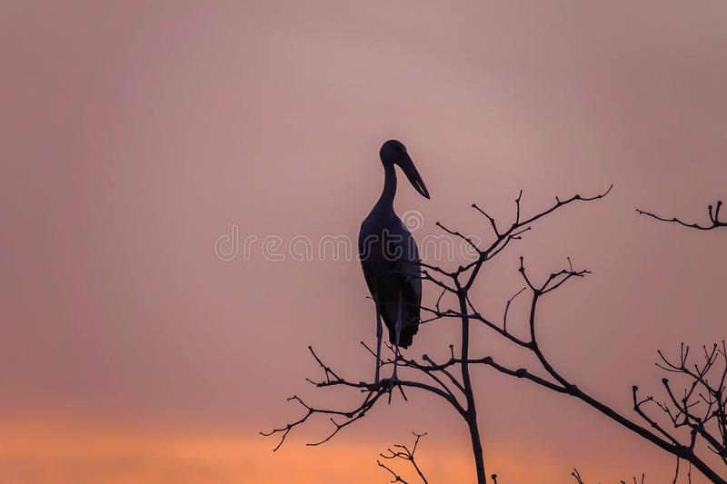 Silhouette of Asian Openbill Bird Anastomus oscitans against Pink Sky at Thale Noi Waterfowl Reserve Lake, Thailand stock photos