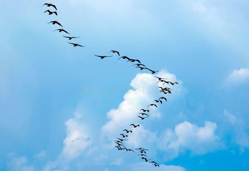 Silhouette av flygfåglar royaltyfri bild