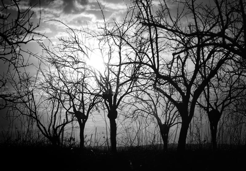 Silhouette Bare Trees And Branches In Backlit. At the early daybreak stock photos