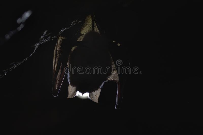Silhouette of a bat in the cave. Lesser horseshoe bat, Rhinolophus hipposideros, in the nature cave habitat royalty free stock image