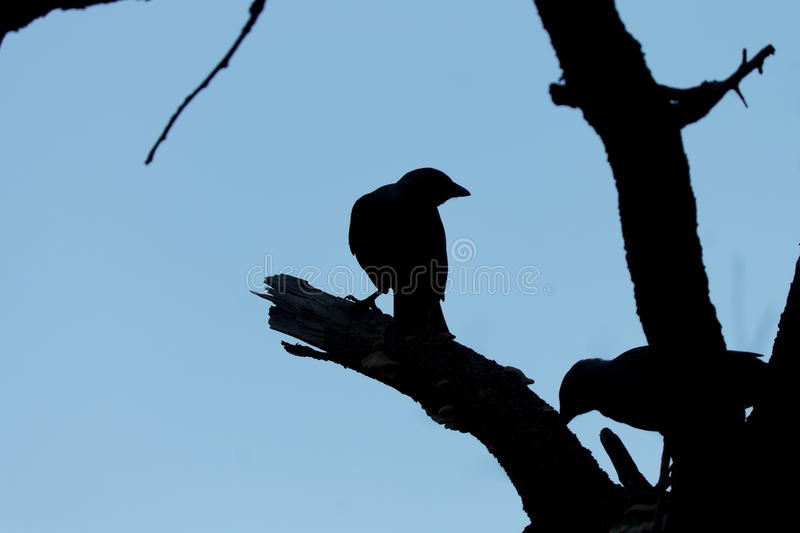 Silhouette of birds on a dead tree at a background of blue sky royalty free stock image