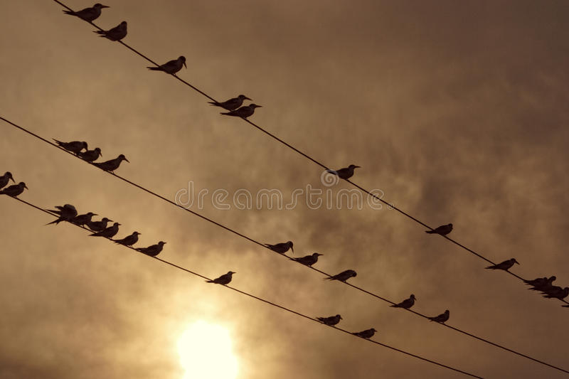 Silhouette of birds at sunset, Laguna de Unare, Venezuela. A group of birds perched in electric line at sunset stock images