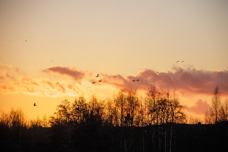 Silhouette of birds wildfowl geese flying off to roost at sunset. Above trees tree tops skyline stock photo