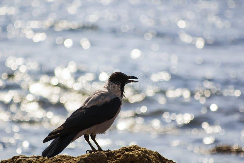 Silhouette black and gray bird like crow on beach near sea stock photos