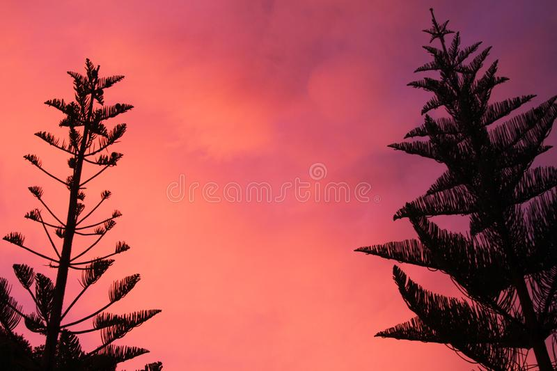 Silhouette of black Norfolk Pine Tree Araucaria heterophylla crown contrasting with pink and red burning sky during sunset stock photos