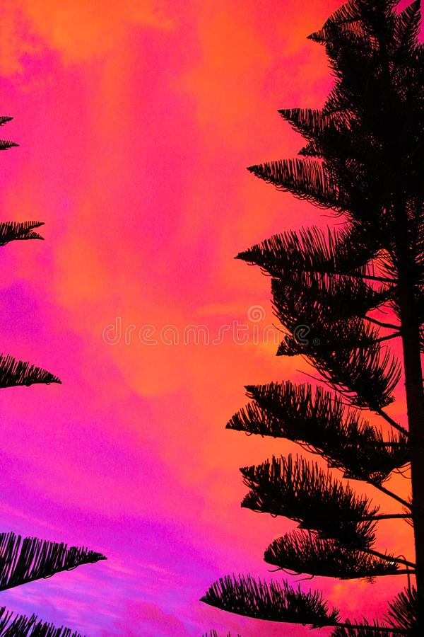 Silhouette of black Norfolk Pine Tree Araucaria heterophylla crown contrasting with pink and red burning sky during sunset. In New Zealand royalty free stock photos