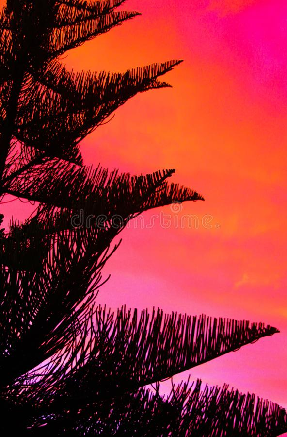 Silhouette of black Norfolk Pine Tree Araucaria heterophylla crown contrasting with pink and red burning sky during sunset. In New Zealand royalty free stock photography