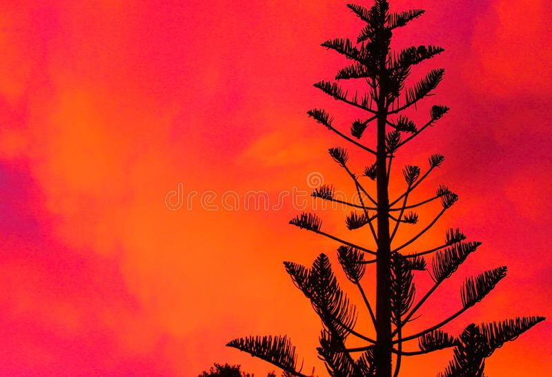 Silhouette of black Norfolk Pine Tree Araucaria heterophylla crown contrasting with pink and red burning sky during sunset. In New Zealand stock image