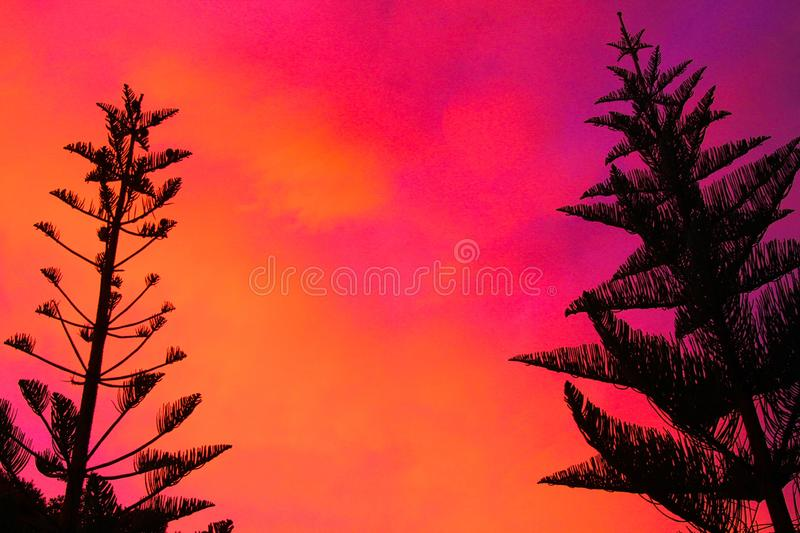 Silhouette of black Norfolk Pine Tree Araucaria heterophylla crown contrasting with pink and red burning sky during sunset. In New Zealand royalty free stock images