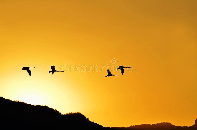 Silhouette black swans flying in clear cloudless sunset sky. An image that brings peace and tranquility and inspiration as a group of four black swans in royalty free stock photo