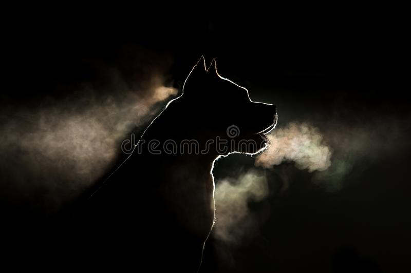 Silhouette of a breed of dog breeds American Staffordshire Terrier in backlight on a black background. Portrait of a dog that is steaming stock image