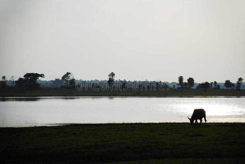 Silhouette of a buffalo eating in field near river stock image