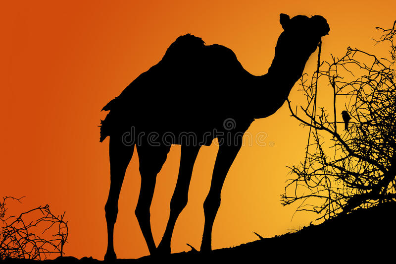 Silhouette of camel at sunrise