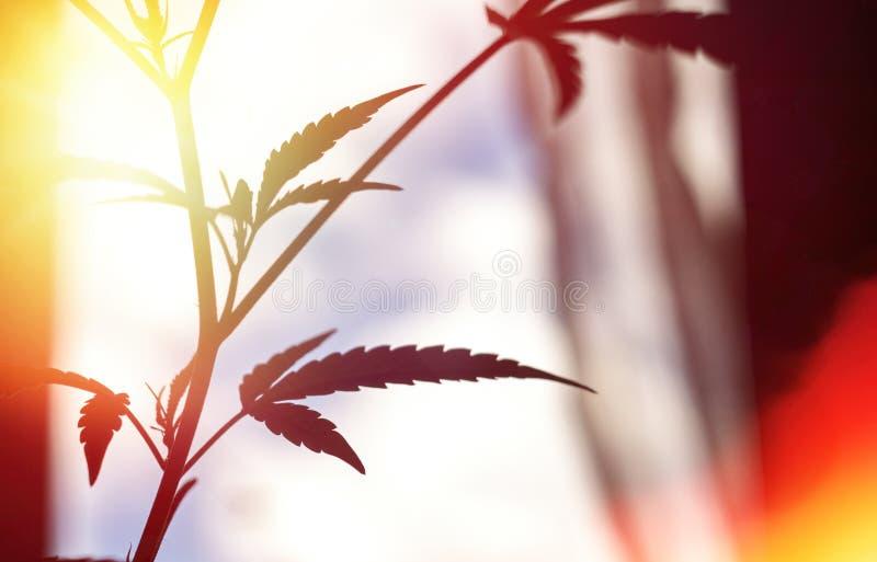 Silhouette of cannabis and marijuana in sunlight. Ganja, hemp on blurry background royalty free stock images