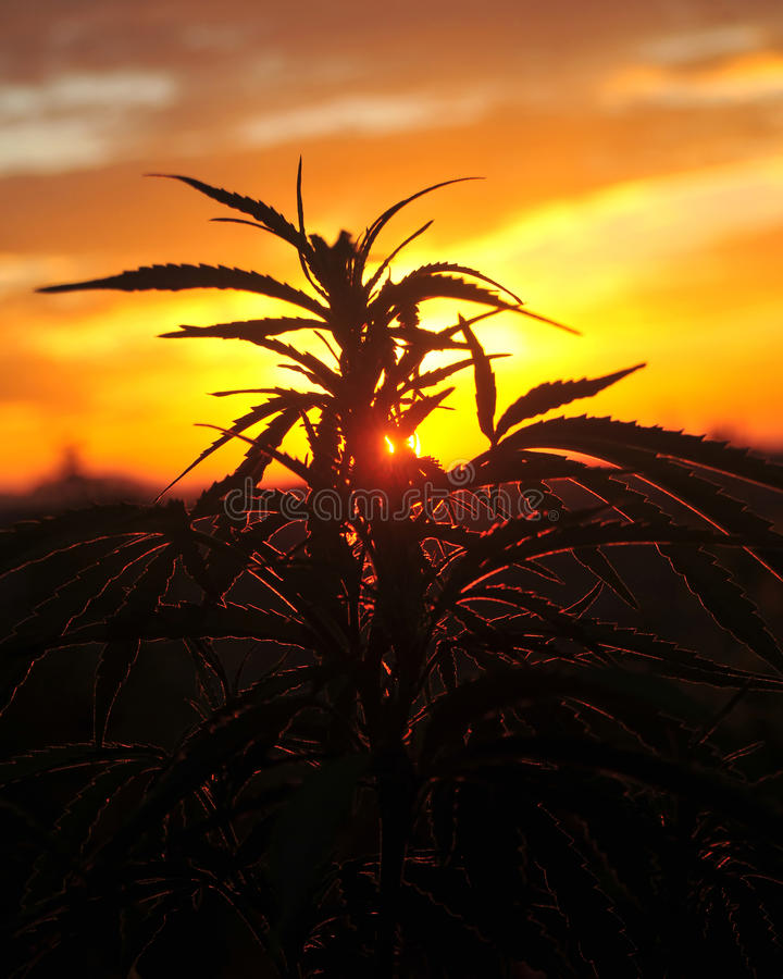 Silhouette of cannabis plant at sunrise stock photos