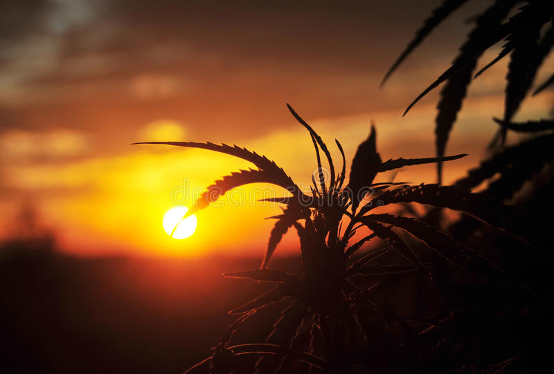 Silhouette of cannabis plant at sunrise royalty free stock images