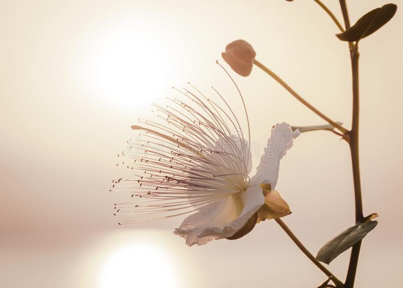 Silhouette of Capparis branch on background of morning sky with rising over sea sun. Capers flower in sunlight royalty free stock photo