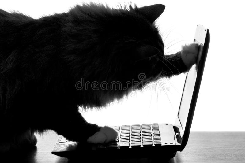 Silhouette of cat looking video on a laptop computer on the Internet. Horizontal black and white silhouette of a fluffy cat on the table looking video on a royalty free stock images