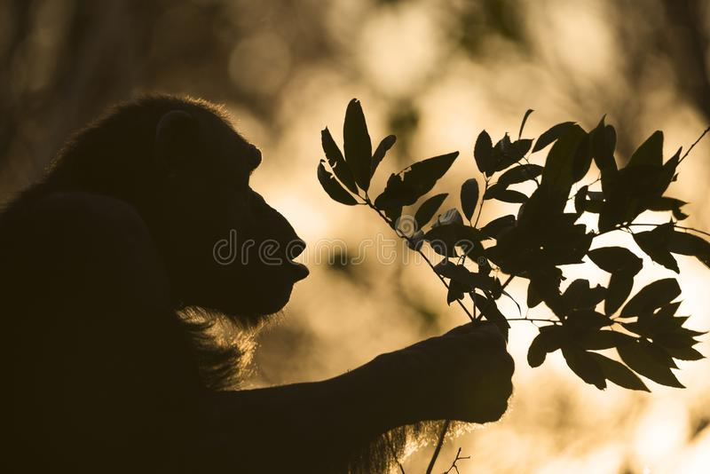 Silhouette of chimpanzee who giving his present for someone at sunset. stock images