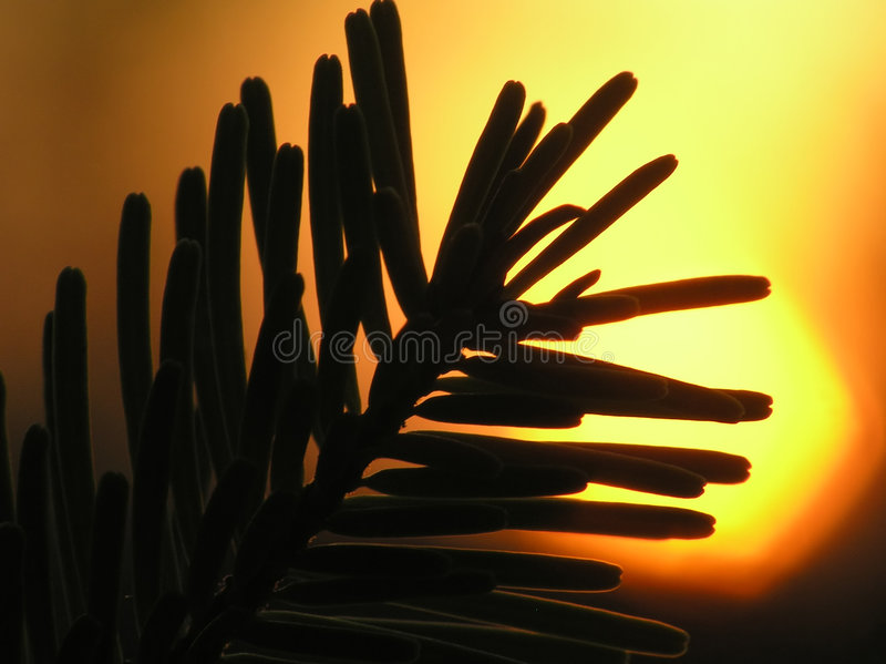 Silhouette of Christmas tree needles royalty free stock photography
