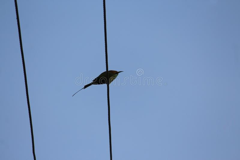 A silhouette of a cinnamon throated bee eater which perches on a cable. This bird has a beautiful long tail and a sharp beak royalty free stock photography