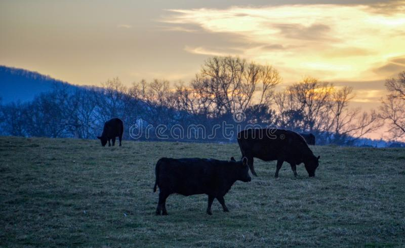 Silhouette of cows grazing at sunset. Silhouette of cows grazing at sunset on the foothills of the Blue Ridge Mountains stock photography