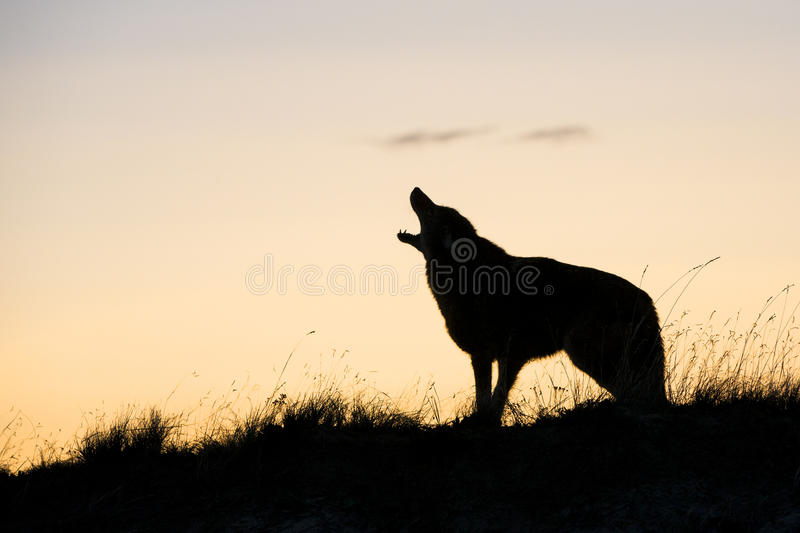 Silhouette of coyote howling at sunrise. Beautiful picture of coyote howling at sunrise