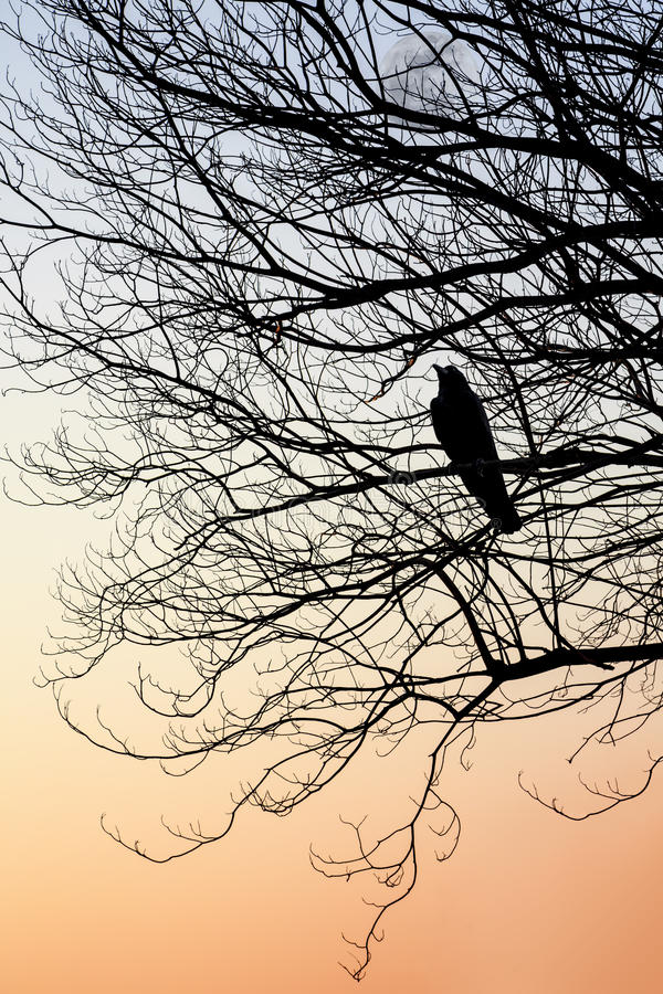 Silhouette Of Crow Perch On Tree Branches Stock Image ...