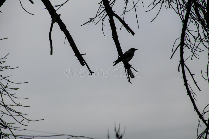 Silhouette of crow perched on a leafless tree branch stock photo