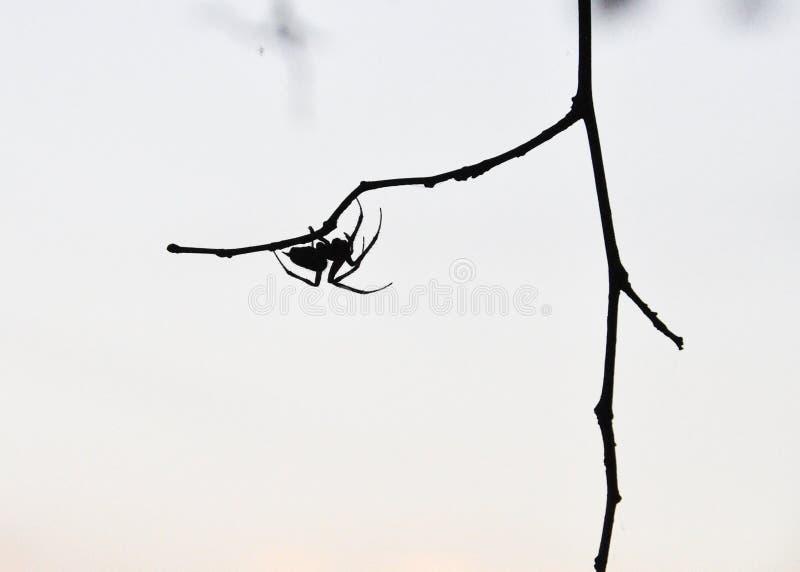 Silhouette d'araignée sur la branche image libre de droits