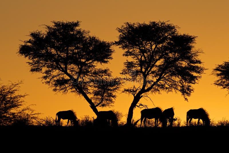 Silhouette d'arbre et de wildebeest images stock