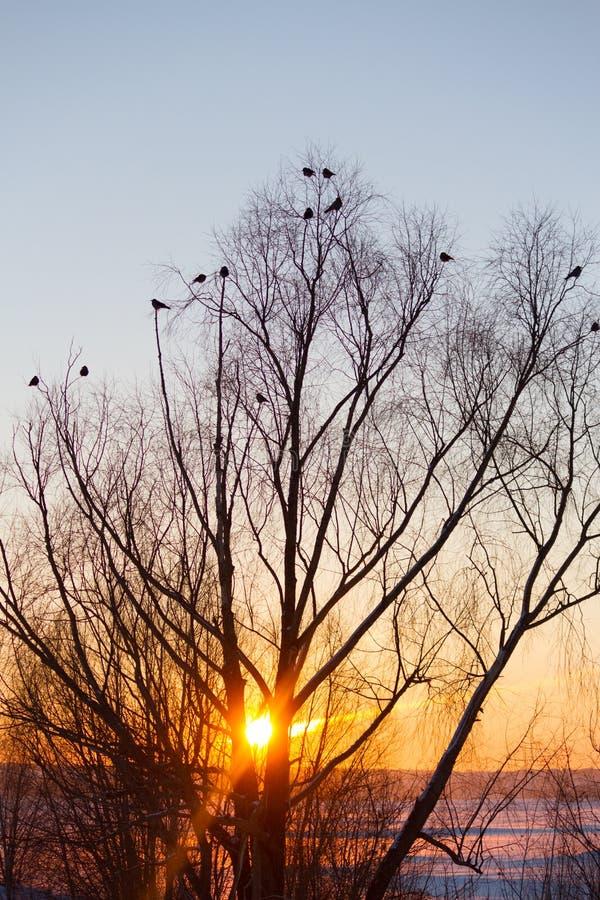 Silhouette d'arbre et d'oiseaux image stock