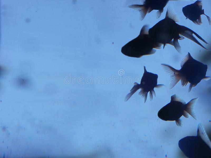 Silhouette d'or de poissons photographie stock libre de droits