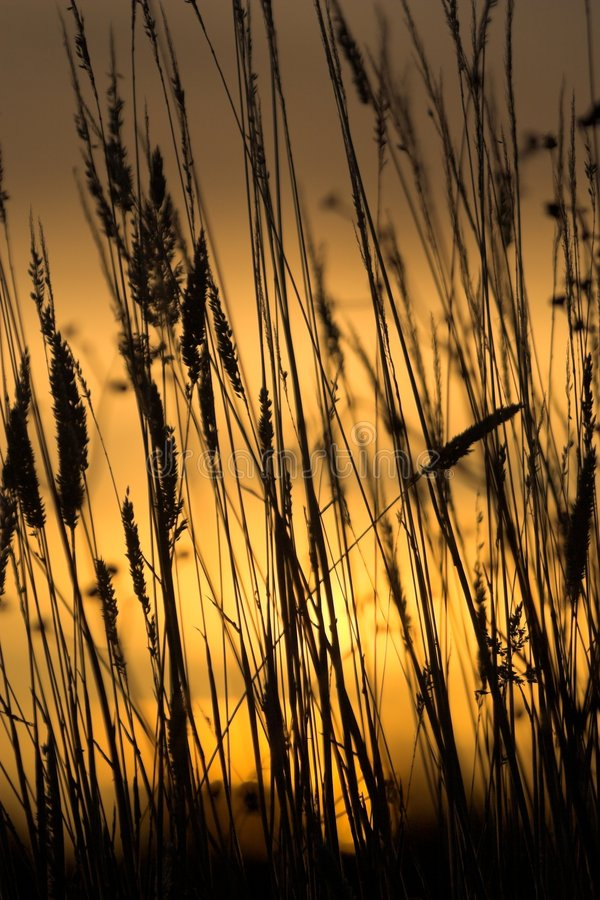 Silhouette d'herbe photographie stock
