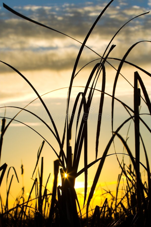 Silhouette d'herbe sauvage photographie stock