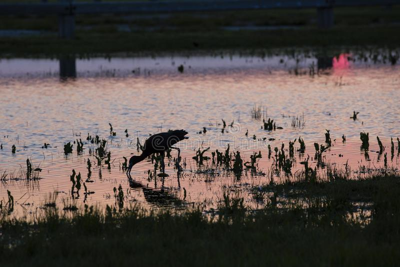 Silhouette d'IBIS alimentant dans l'eau dans le coucher du soleil rose photographie stock