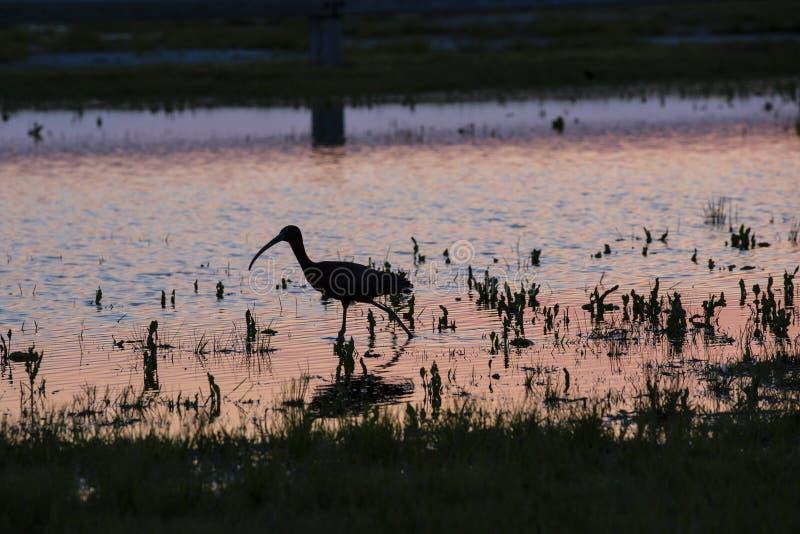 Silhouette d'IBIS marchant dans l'eau au coucher du soleil rose photos libres de droits