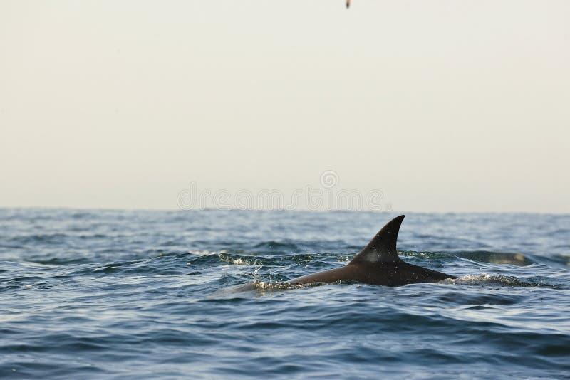 Silhouette d'un aileron arrière d'un dauphin, nageant dans l'océan image stock