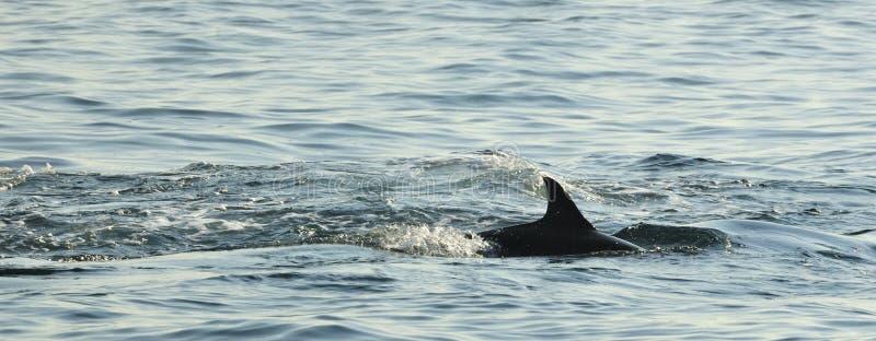 Silhouette d'un aileron arrière d'un dauphin, nageant dans l'océan photos stock
