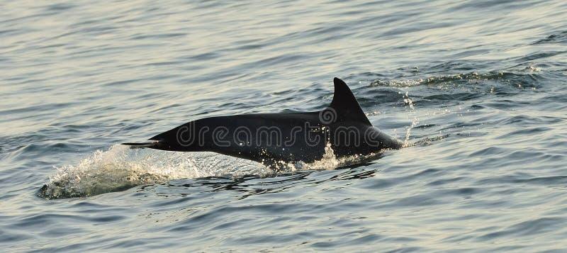 Silhouette d'un aileron arrière d'un dauphin, nageant dans l'océan photo stock