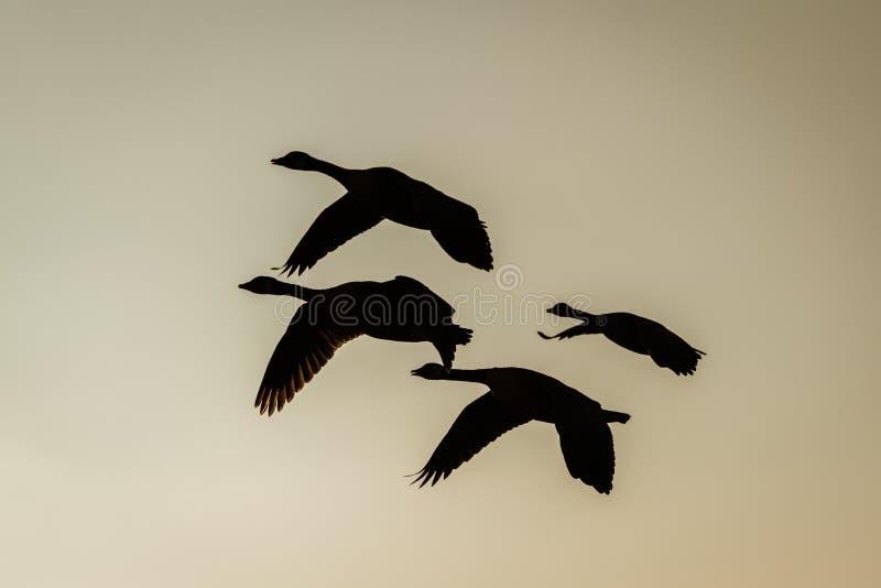Silhouette d'un petit troupeau de l'oie ( du Canada ; Branta canadensis) ; en vol, rentré le R-U photo libre de droits
