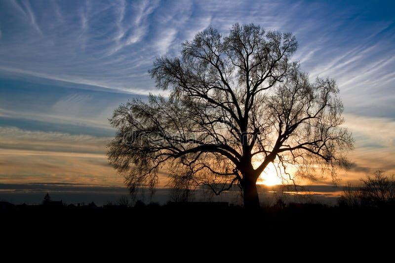 Silhouette d'un vieux chêne photo libre de droits