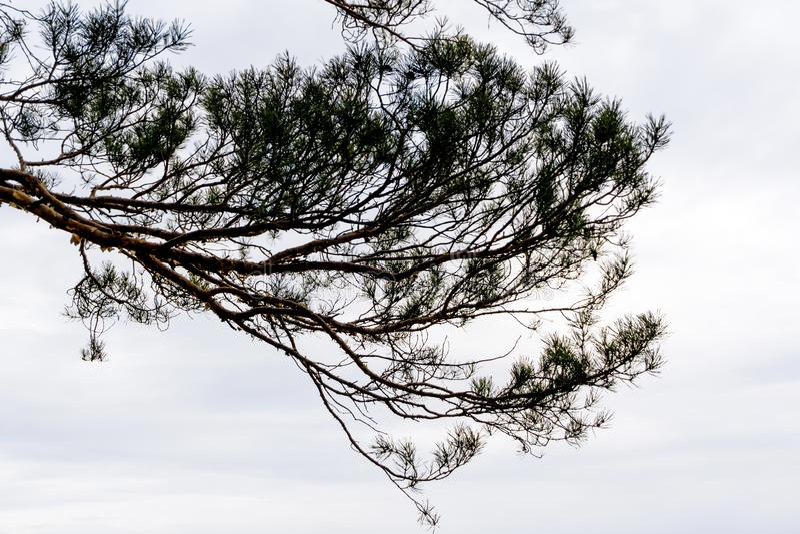 Silhouette d'une branche de pin contre un ciel nuageux photos libres de droits