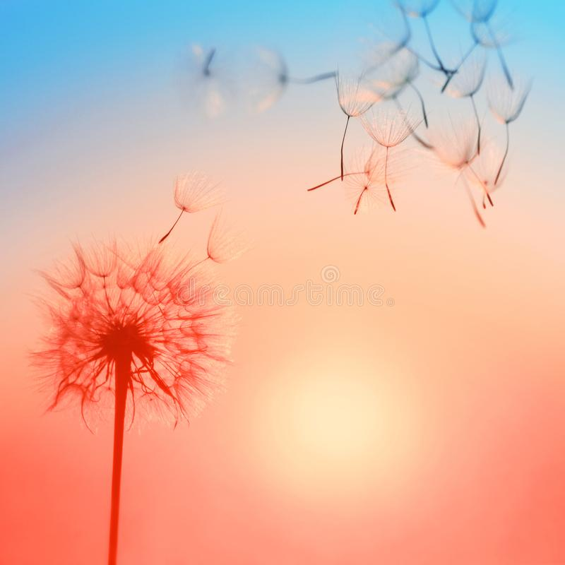 Silhouette of dandelion against the backdrop of the setting sun. royalty free stock image