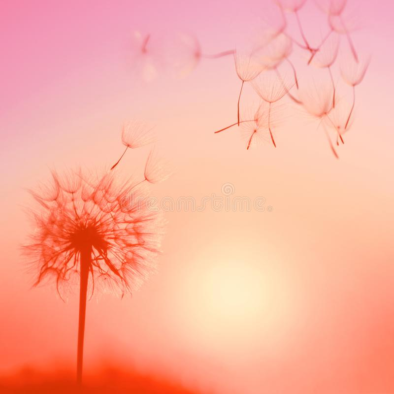 Silhouette of dandelion against the backdrop of the setting sun. stock photos