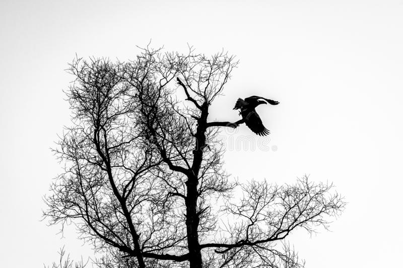 Silhouette of dark eagle flying over the bare branches of trees. Halloween concept. Black and white image stock photography